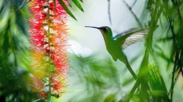 Koliber to najmniejszy ptak świata, zamieszkujący głównie Amerykę