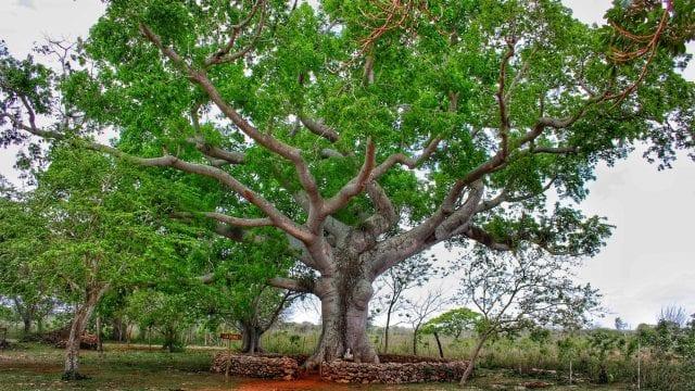 Drzewo Ceiba to drzewo święte. Ważne centrum spotkań majańskich przywodców duchowych