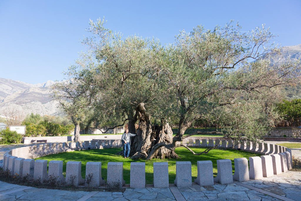 czarnogora-wakacje-bar-stara-maslina-drzewo-oliwne-wyrusz-w-zyciowa-podroz-soul-travel